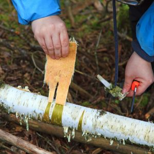 EN bit näver tas från en björk med hjälp av morakniv och händerna